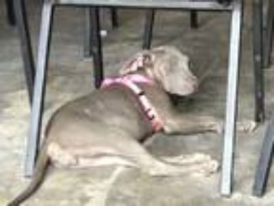 Adopt TWIXIE a Gray/Silver/Salt & Pepper - with White American Pit Bull Terrier