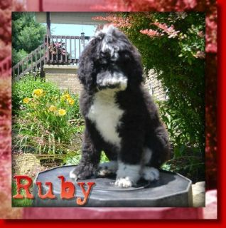 Ruby Female Sheepadoodle