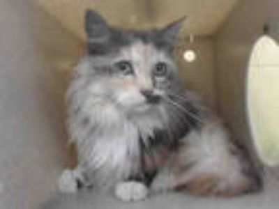 Adopt FLUFFY a Calico or Dilute Calico Maine Coon / Mixed (long coat) cat in