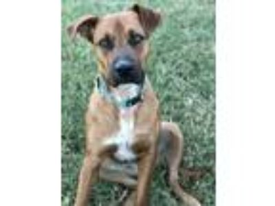 Adopt Gracie a Red/Golden/Orange/Chestnut American Pit Bull Terrier / Australian