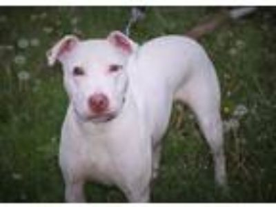 Adopt Blanca a White American Pit Bull Terrier / Mixed dog in Batavia