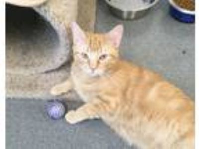 Adopt Filbert a Domestic Short Hair