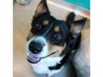 Adopt Quiggly a Black Border Collie / Corgi / Mixed dog in McKinney