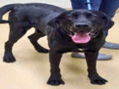 Adopt DAKOTA a Black Labrador Retriever / Great Dane / Mixed dog in Ogden