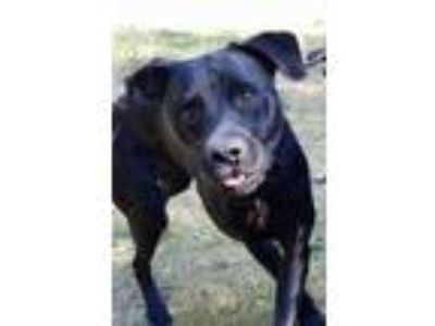 Adopt Tank a Black Labrador Retriever / Rottweiler / Mixed dog in Mountlake