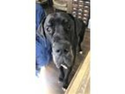 Adopt Lennox- Bonded with Tyson a Great Dane