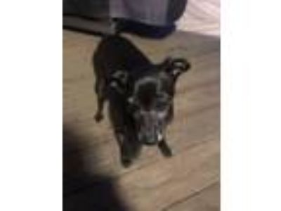 Adopt Allie a Black Miniature Pinscher / Italian Greyhound / Mixed dog in