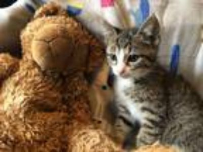 Adopt Junebug (Campground Kittens) a Domestic Shorthair cat in Acworth