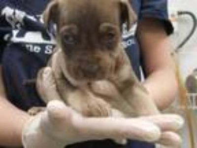 Adopt SNUGGLES a Brown/Chocolate - with Tan Labrador Retriever / Mixed dog in