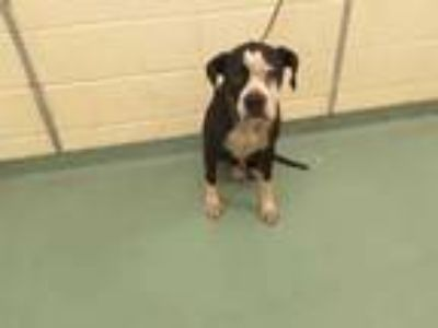Adopt JUPITER a Black - with White Mixed Breed (Medium) / Mixed dog in Memphis