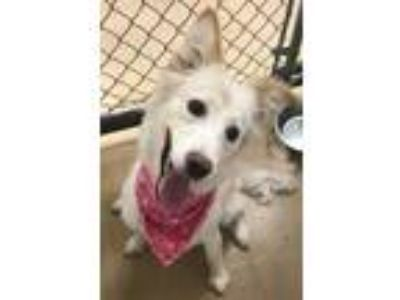 Adopt Lola a Golden Retriever, Border Collie