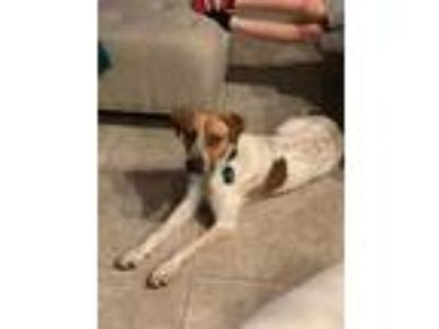 Adopt Bo a White - with Brown or Chocolate Australian Cattle Dog / Labrador