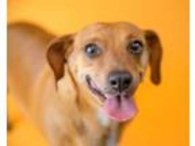 Adopt Wilma a Dachshund, Mixed Breed