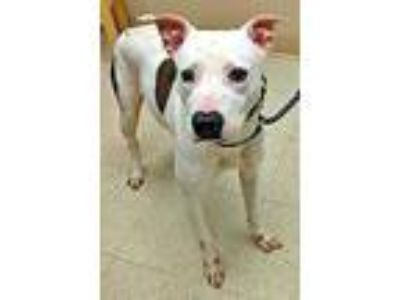 Adopt Demi a Brindle American Pit Bull Terrier / Mixed dog in Noblesville
