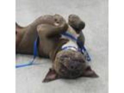 Adopt Buckaroo (PAWS) a Brown/Chocolate American Pit Bull Terrier / Mixed dog in