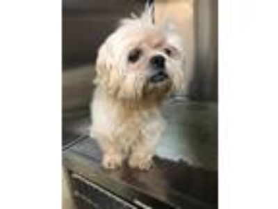 Adopt Amberlee a White - with Tan, Yellow or Fawn Shih Tzu / Mixed dog in