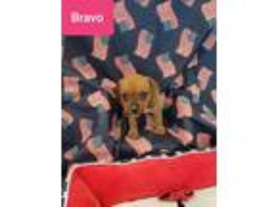 Adopt Bravo a Red/Golden/Orange/Chestnut Boxer / Mixed dog in Mooresville