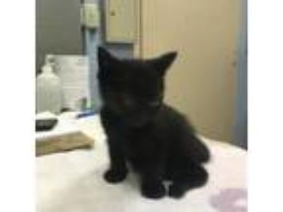 Adopt Ginny a All Black Domestic Shorthair / Domestic Shorthair / Mixed cat in