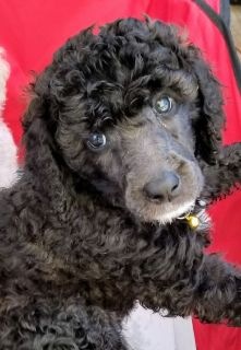 Silver female Standard Poodle puppy