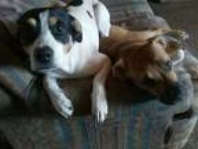 Adopt Squeaks a Brown/Chocolate - with White Boxer / Australian Cattle Dog /