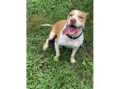 Adopt Evie a Tan/Yellow/Fawn - with White American Pit Bull Terrier / Mixed dog