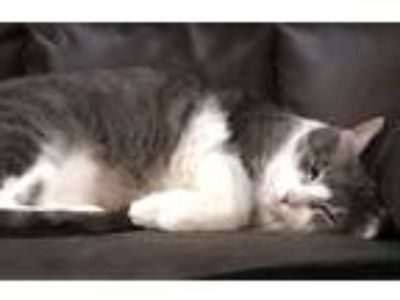 Adopt Noelle a Gray or Blue Domestic Shorthair (short coat) cat in Lincolnwood