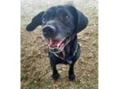 Adopt Zoey a Black Beagle / Retriever (Unknown Type) / Mixed dog in Noblesville