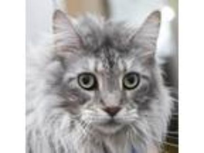 Adopt William a Gray or Blue Maine Coon cat in Middletown, RI (25820521)