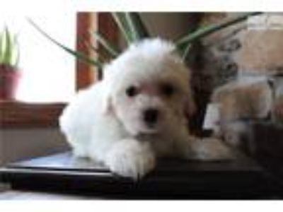 Adorable Male Maltipoo puppy now ready!