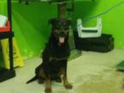 Adopt SPRING a Black - with Tan, Yellow or Fawn Rottweiler / Mixed dog in Green