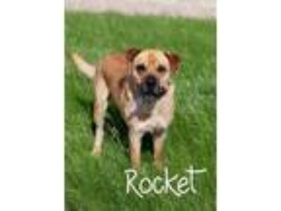 Adopt Rocket a Shar Pei dog in La Crosse, WI (23149120)