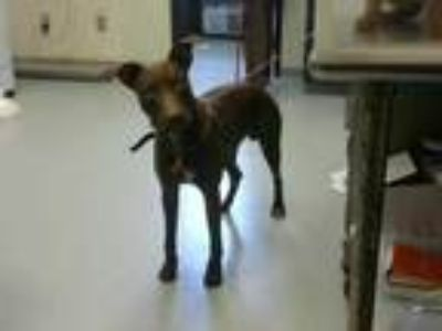 Adopt GROVER a Brown/Chocolate Labrador Retriever / Mixed dog in Fayetteville