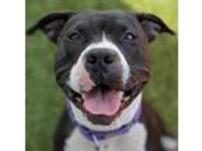 Adopt Sammy a Black American Pit Bull Terrier / Mixed dog in Wenatchee