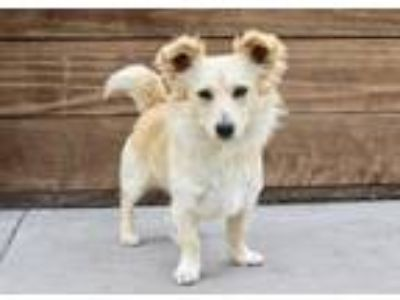 Adopt Twinkie a Tan/Yellow/Fawn Spaniel (Unknown Type) / Mixed dog in Los