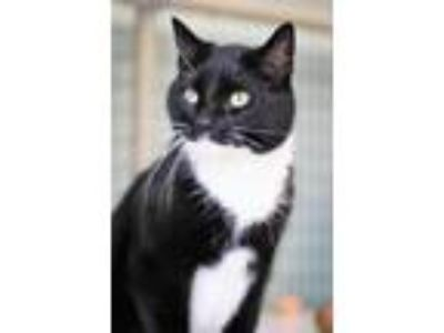 Adopt Annika a Black & White or Tuxedo Domestic Shorthair / Mixed cat in St.