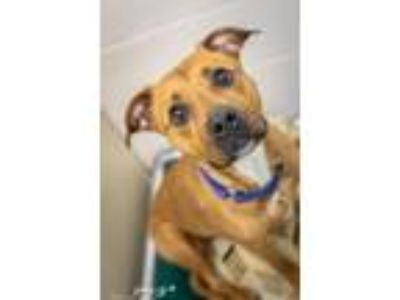 Adopt Toes a Pit Bull Terrier