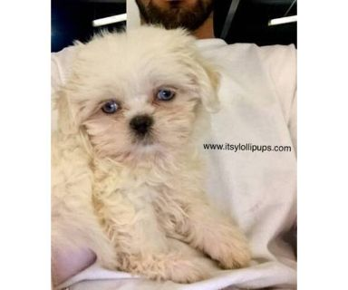 Shih Tzu PUPPY FOR SALE ADN-131492 - RARE Blue Eyes Shih Tzus