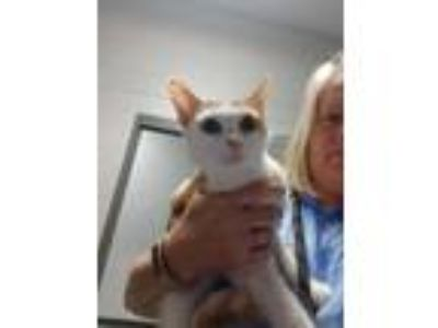 Adopt Glory a Calico or Dilute Calico Domestic Shorthair (short coat) cat in