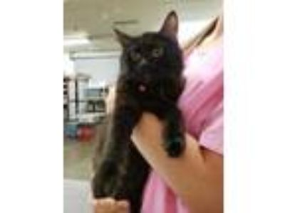 Adopt RUBY a All Black Domestic Longhair / Domestic Shorthair / Mixed cat in