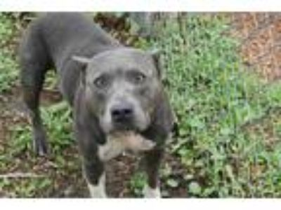 Adopt GEMMA a Gray/Silver/Salt & Pepper - with White American Pit Bull Terrier /