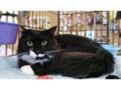 Adopt Joey a Black & White or Tuxedo Domestic Longhair (long coat) cat in