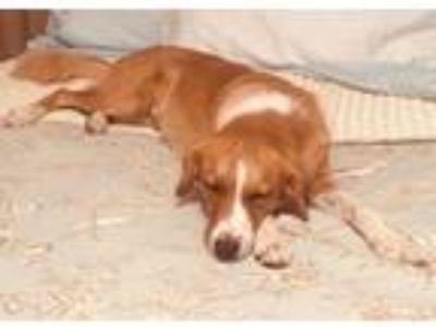 Adopt *Katie a Red/Golden/Orange/Chestnut - with White Border Collie / Mixed dog