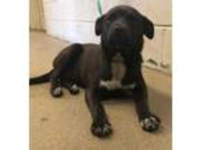 Adopt Arya* a Black Labrador Retriever / Mixed dog in Anderson, SC (25286582)