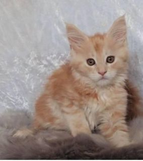 maine coon kittens for new homes