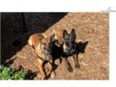 Belgian Malinois male Ready Now !