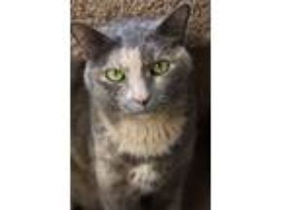 Adopt Shannon a Domestic Short Hair