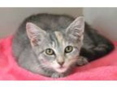 Adopt Rocksie a Domestic Short Hair