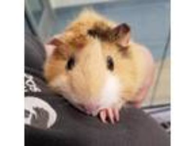 Adopt Poppy a Orange Guinea Pig / Guinea Pig / Mixed small animal in Menands