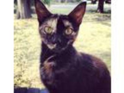 Adopt Willie a Tortoiseshell Domestic Shorthair cat in Nashville, TN (25351932)