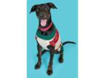 Adopt NEWLIN a Doberman Pinscher / Labrador Retriever / Mixed dog in Ocala